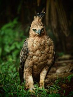 インドネシアジャワクマタカ インドの神話に登場する鳥であるガルダに似ているとして、インドネシアの国鳥に指定