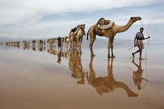 Hundreds of camels coming to Lake Asele to collect salt blocks