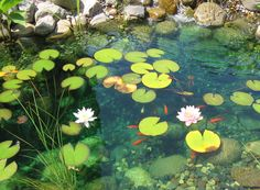 Koi pod with lily pads