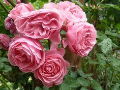 """Rosa Rosen sind ein wunderbarer """"Rosa- Moment"""""""