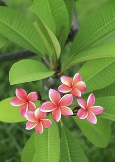 Plumeria plants are actually small trees that are native to tropical regions. The flowers of these beautiful plants are used in making traditional Hawaiian leis. Learn how to grow plumeria in this article. Beautiful Flowers, Flower Pots, Plumeria, Plants, Planting Flowers, Plumeria Tree, Fragrant Flowers, Flower Pot Design, Plumeria Flowers