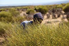 La récolte du rooibos a commencé et j'y participe avec grand plaisir. Elle ne dure pas deux mois. L'Afrique du Sud est le seul pays producteur de rooibos, une plante que l'on appelle parfois « thé rouge » mais qui n'est pas du thé. Le rooibos a la propriété d'être riche en substances antioxydantes et totalement dénué de caféine. Ma boisson préférée avant de me mettre au lit. The Rouge, Totalement, Liqueurs, Riding Helmets, Nature, South Africa, Cups, Drinks, Painted Canvas