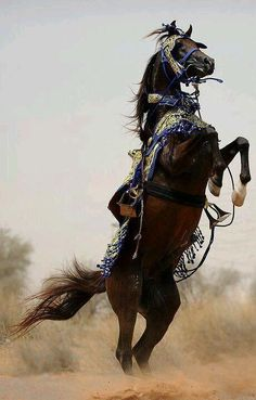 Desert born Arabian in full native costume rears ( the rider is gone, so I am not sure if they were thrown, or not )