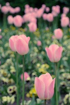 Tulips by Andrew Stawarz, via Flickr. Inspiration for Top Knobs Mercer Collection - Holland Series of cabinet hardware.