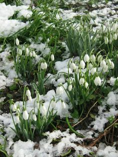 Snow drops first flowers to appear in my garden Spring Flowers, White Flowers, Beautiful Flowers, Spring Bulbs, Garden Shrubs, Spring Sign, White Gardens, Winter Beauty, Winter Wonder