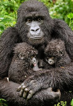 Mountain gorilla with her twin babies - [the Gerald Durrell award for endangered species) This is only the fifth set of mountain gorilla twins ever to be reported in Rwanda's Volcanoes national part.