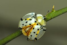 Weird Real Animals - Tortoise Beetle are a subfamily of the leaf beetle Cool Insects, Bugs And Insects, Beautiful Creatures, Animals Beautiful, Dragonfly Insect, Cool Bugs, Beetle Bug, Leaf Beetle, A Bug's Life