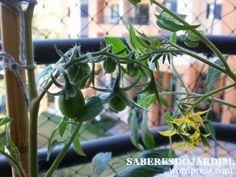 Polinização de tomates