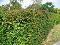 Gardening in South Florida: South Florida Hedge Plants v.I,   Surinam Cherry Hedge