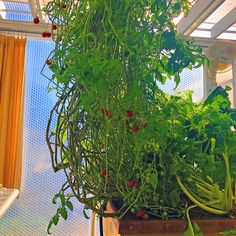 These are our Cherry Tomato Plants in our Greenhouse. They go all the way to the ceiling. In the background you can see the curtains we pull closed every night during the Winter to keep the Greenhouse from getting too cold. Today we installed our Hydronic Heating. More Manana.