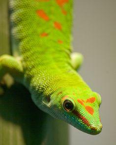 madagascar gecko by Eric Hochstadt