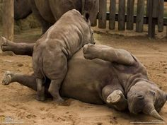 Baby rhino is playful. From National Geographic.