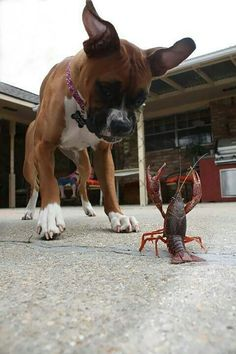 """Boxer Dogs """"Yeah, you better put your hands up!"""" (boxer) - Boxers may look tough as nails (and they are certainly tough) but under the surface they are lovable, playful, goofy pals. Funny Boxer, Funny Dogs, Funny Animals, Cute Animals, Boxer And Baby, Boxer Love, Boxer Puppies, Dogs And Puppies, Doggies"""