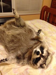 Rupert Raccoon playing on the bed.