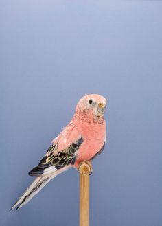 鳥というとハトやカラスを思い浮かべてしまうかもしれないが、小さくてカラフルで多様な姿の鳥がいることを忘れてはいけない。写真家ルーク・ステファンソンが撮影したインコの写真はまるで図鑑のようでもあるが、その写真からは豊かな色彩のハーモニーが溢れ