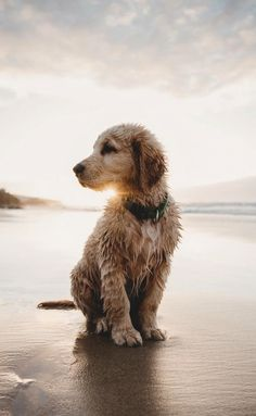 All the things we like about the Outgoing Golden Retriever Puppies Cute Dogs And Puppies, I Love Dogs, Doggies, Puggle Puppies, Maltese Dogs, Cute Baby Animals, Funny Animals, Dog Beach, Dogs At The Beach