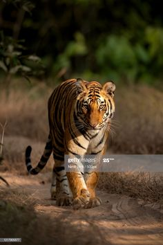 Close Up View Of A Tiger Walking Through A Forest Umaria India Photography #Ad, , #ad, #Tiger, #Walking, #Close, #View
