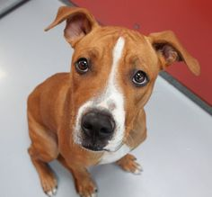 *DONALD-ID#A678477    Shelter staff named me DONALD.    I am a male, brown and white Pit Bull Terrier mix.    The shelter staff think I am about 1 year old.    I have been at the shelter since Oct 29, 2012.