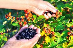 Before you head out to forage for berries, learn about the different Rubus plants that grow in your area. Hundreds of species exist. Thornless Blackberries, Growing Blackberries, Red Raspberry, Blackberry, Purple Flowers, White Flowers, Weed Seeds, Planting Seeds, Shrubs