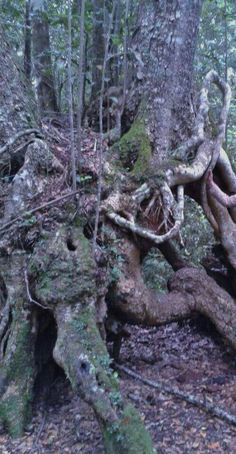 Knysna Forest. Such amazing trees.