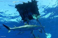 Shark under a FAD in the Indian Ocean