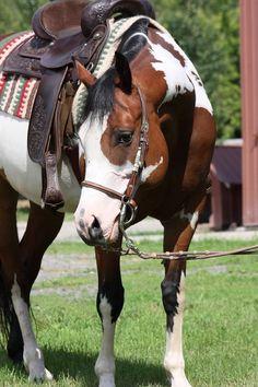 Overo Paint Horses   MAGIC JESSIE BRICK, jument paint horse, baie overo