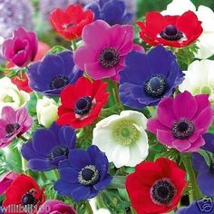 20 Anemone Bulbs - Mixed colors of pink, purple, white, fushia and red, Size 6/7