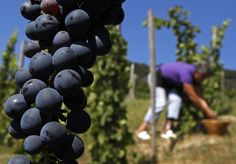 Red wine linked to fighting fat.