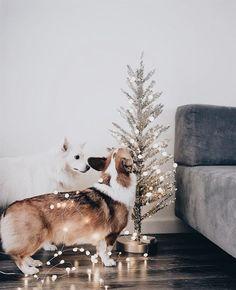 corgi and their christmas trees Christmas Style, Merry Christmas, Christmas Pets, Family Christmas, Animals And Pets, Cute Animals, Mans Best Friend, Welsh, Alaskan Klee Kai