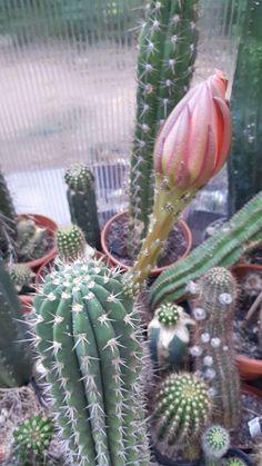 Cactus Art, Cactus Flower, Cactus Plants, The Incredibles, Garden, Flowers, Beautiful, Succulents, Beauty