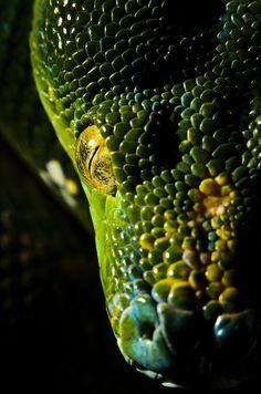 Morelia viridis (Green Tree Python) | So cool!
