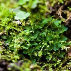Hlevíky - patří do bezcévných rostlin.