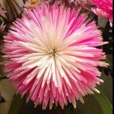 My valentines flowers bloomed so big! Exotic Flowers, Tropical Flowers, Fresh Flowers, Beautiful Flowers, Chrysanthemum, Small Natural Garden Ideas, Zinnias, Dahlias, Bloom