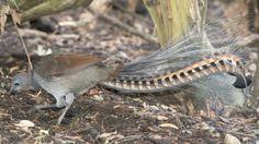 Niezwykły ptak - powtórzy wszystko, co usłyszy. http://tvnmeteo.tvn24.pl/informacje-pogoda/ciekawostki,49/niezwykly-ptak-powtorzy-wszystko-co-uslyszy,149255,1,0.html