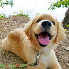 Follow us if you love Golden Retriever ----------------- #dogs #pets #Golden #Retriever #welovegoldens #goldens #puppy #goldenretrieverlove #goldenretrieversworld #goldenretrievers_ #goldenretriever #goldenretrievers #goldenretrieverpuppy #goldenretrieversofinstagram #animals