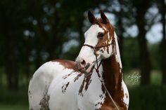 Horse / Paint horse Kobo