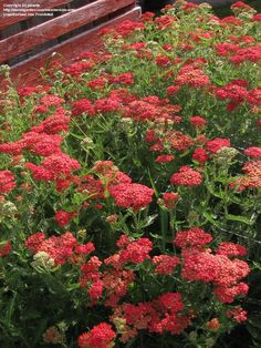 Yarrow - Achillea ssp.    Yarrow is a group of Rocky Mountain native perennials that are available in many colors, ranging from yellow, to white, to red.  The plants are very drought tolerant, requiring almost no watering once established.  Fern-like, finely dissected leaves form clumps at the base of the plant, often naturalizing and spreading.  Flowers are produced on stiff, tall stalks throughout the summer.
