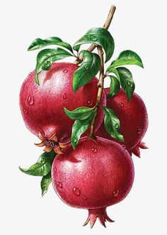Pomegranate, the patient man's fruit. Fruit by Inorama Illustrators Fruit Illustration, Food Illustrations, Botanical Illustration, Watercolor Fruit, Fruit Painting, Botanical Drawings, Botanical Prints, Fruits Drawing, Illustration Botanique