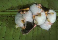 white fruit bat