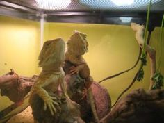 Dragons is an adoptable Bearded Dragon Reptile in Shelton, CT. We have several bearded dragons for adoption.   All fairly young, less than a year old.  We have both males and females.  Each is very ha...
