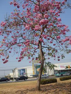 Ipê Roxo (Rosa) Cuiabá MT