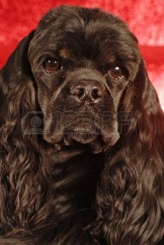 Head Shot Of Black And Tan American Cocker Spaniel On Red ...