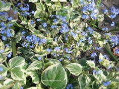 Brunnera macrophylla 'Dawson White', kaukasische vergeet-mij-niet. Een zeer sterke vaste plant die met vergeet-mij-nietjes blauw bloeien in aril - mei. Het blad is de grote sierwaarde: sterk en niet door slakken bezocht.