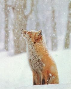 midnightinparis:    red fox  oh how I love this pic!!!