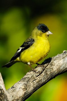 Lesser Goldfinch – Burbank California
