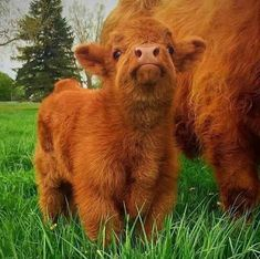 Meet Highland Cattle, A Breed Of Cows Whose Babies Are Adorable And Heart-Melting!!
