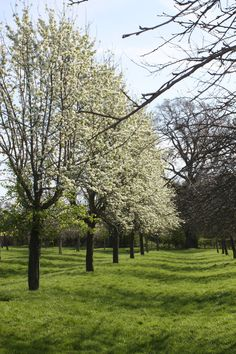 Avenue of Perry Trees in a beautiful orchard