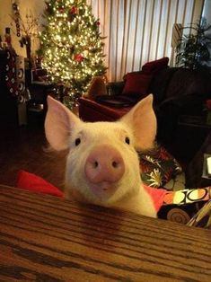 And with a face like this, can you blame them for falling in love?? | 19 Photos Of Esther, The Most Wonderful Pig You Need To Meet