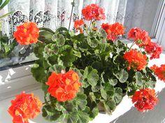 Как вырастить шикарную герань / Домоседы Types Of Flowers, Beautiful World, Peonies, Floral Wreath, Diy Crafts, Wreaths, Garden, Plants, Home Decor