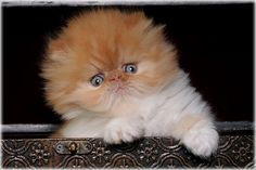 Fluffy and ORANGE! Totally the kind of kitty I'd get if I bought one! :)